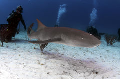 护士鲨鱼 库存图片