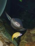 护士鲨鱼 免版税库存图片