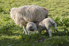 护理两只春天羊羔的母羊 图库摄影