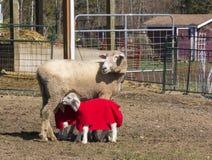 护理她的两只羊羔的绵羊 库存照片