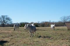护理她的小牛的Brahma母牛 库存照片