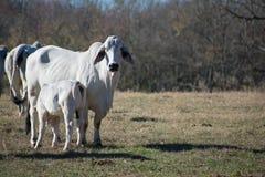 护理她的小牛的Brahma母牛 免版税库存图片