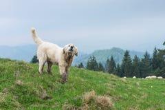 护羊狗在波兰山的卫兵牧群 免版税库存图片