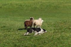 护羊狗在绵羊羊属白羊星座附近赛跑  免版税库存图片