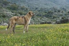 护羊狗在草甸,品种Mastin画象  免版税库存图片