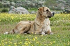 护羊狗在草甸,品种Mastin画象  免版税库存照片
