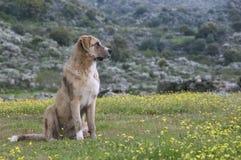 护羊狗在草甸,品种Mastin画象  免版税图库摄影