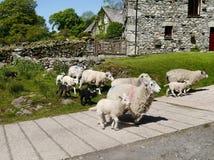 护羊狗控制绵羊 库存照片