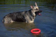 护羊狗湿在湖 库存照片