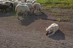 护羊狗睡觉和绵羊成群吃草 库存图片