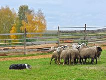 护羊狗训练 免版税库存照片