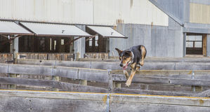 护羊狗跳过牲畜饲养场操刀 免版税库存图片