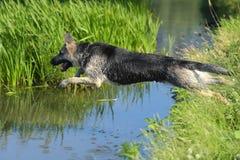 护羊狗跳进水 免版税库存照片