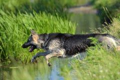 护羊狗跳进水 免版税库存图片