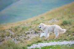 护羊狗,重创的钢琴, Monti Sibillini NP,翁布里亚,意大利 库存图片