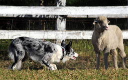 护羊狗 库存照片