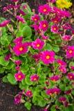 报春花在庭院里,早期的春天 红色报春花美丽,明亮的花  库存照片