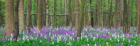 报春花在森林里 免版税图库摄影