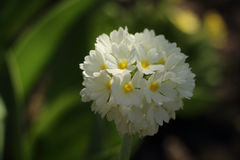 报春花特写镜头的开花在庭院里 免版税库存图片