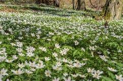 报春花白色森林花在一块森林沼地的在一个春天晴天 免版税库存图片