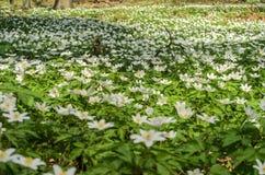 报春花白色森林花在一块森林沼地的在一个春天晴天 库存图片