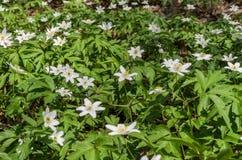 报春花白色森林花在一块森林沼地的在一个春天晴天 免版税图库摄影