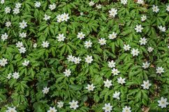 报春花白色森林花在一块森林沼地的在一个春天晴天 库存照片