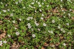 报春花白色森林花在一块森林沼地的在一个春天晴天 图库摄影