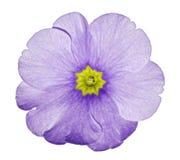 报春花紫罗兰 开花在与裁减路线的被隔绝的白色背景,不用阴影 特写镜头 对设计 免版税图库摄影