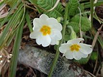 报春花花在春天森林里 库存照片