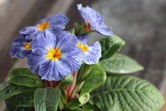 报春花,寻常的樱草属,是一朵早期的春天花 他们有颜色高品种,并且可以是半新都作为阳台植物 免版税库存照片