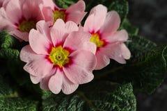 报春花,寻常的樱草属,是一朵早期的春天花 他们有颜色高品种,并且可以是半新都作为a 免版税库存照片