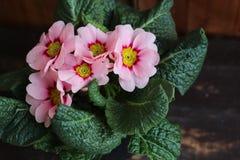 报春花,寻常的樱草属,是一朵早期的春天花 他们有颜色高品种,并且可以是半新都作为a 免版税库存图片