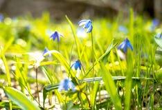 报春花,Scilla在春天阳光温暖的光芒,复活节卡片下的春天花 免版税库存图片