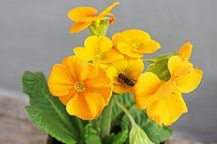 报春花 花 第一朵花 春天 黄蜂在花被栖息 库存图片
