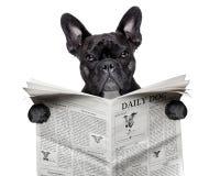 报纸牛头犬 免版税库存照片