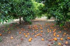 报道地面的下落的桔子在橙树下 免版税图库摄影