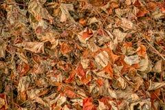 报道地面的干叶子葡萄树 库存图片