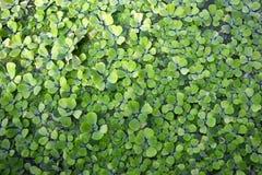 报道水背景的水浮萍Stratiotes水生植物 免版税库存照片