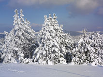 报道的森林横向雪结构树冬天 免版税库存照片