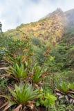 报道La Soufriere火山,瓜德罗普的地面bromeliads和灌木的豪华的植被 库存图片