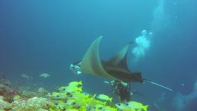 披巾和潜水者在镶边攫夺者学校鱼放松在水面下在海洋 股票视频