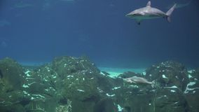披巾,黄貂鱼, Sealife,水下,鲨鱼 股票视频