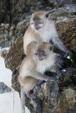 披披岛猴子海岛 免版税库存图片