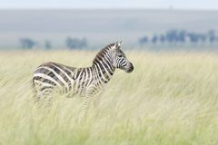 抱怨看起来的斑马机敏在距离,在大草原 库存图片
