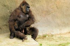 抱着婴孩的大猩猩 免版税库存图片