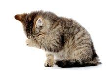 抹它的眼睛的逗人喜爱的平纹小猫 免版税库存照片