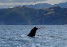 抹香鲸潜水 库存照片