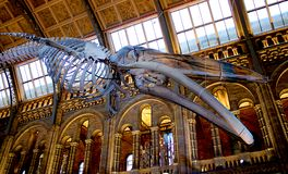 抹香鲸骨骼在伦敦自然历史博物馆  图库摄影