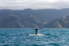 抹香鲸 图库摄影